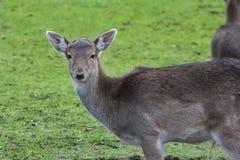 幼小公小鹿画象与冬天黑暗的清白的外套的 免版税库存照片