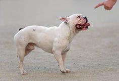 幼小公法国牛头犬 图库摄影