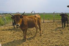 幼小公牛别针在多灰尘的农场的 免版税库存图片