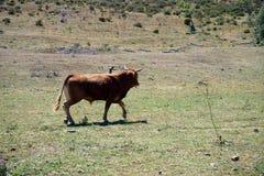 幼小公牛在葡萄牙 免版税库存照片