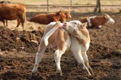 幼小公牛 免版税库存照片