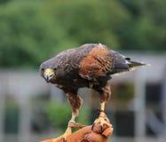 幼小公老鹰在徒步旅行队公园 免版税库存照片