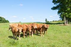 幼小利姆辛肉用牛牧群在春天牧场地 免版税图库摄影