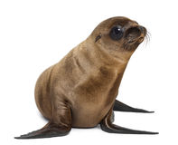 幼小加利福尼亚海狮 图库摄影
