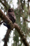 幼小北方猫头鹰在森林里 免版税库存照片