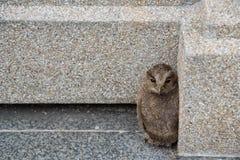 幼小北方猫头鹰从巢落 库存图片