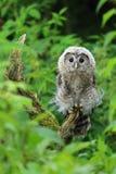 幼小北欧黄褐色的猫头鹰 免版税库存图片