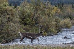 幼小北美驯鹿 免版税库存照片