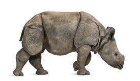 幼小印地安一有角的犀牛(8个月) 图库摄影