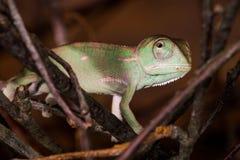 幼小变色蜥蜴 免版税库存图片