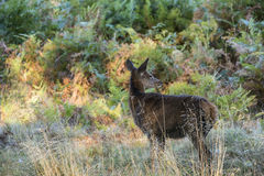 幼小后面母鹿马鹿在秋天秋天森林使图象环境美化 库存照片