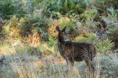 幼小后面母鹿马鹿在秋天秋天森林使图象环境美化 免版税库存照片