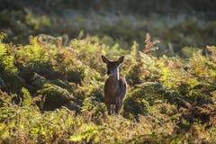 幼小后面母鹿马鹿在秋天秋天森林使图象环境美化 免版税库存图片