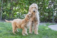 幼小和老Goldendoodle狗 免版税库存图片