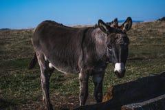 幼小在领域的驴饮用水 库存图片