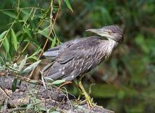 幼小夜鹭属坐在异常的姿势的一个分支 免版税库存图片