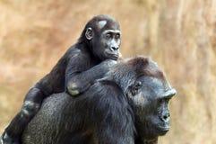 幼小大猩猩和它的母亲 免版税库存照片