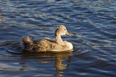 幼小天鹅在湖游泳 免版税库存照片