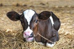 幼小奶牛 免版税库存照片