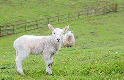 幼小威尔士山绵羊 库存图片