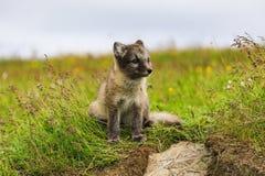 幼小嬉戏的白狐崽在冰岛 免版税图库摄影