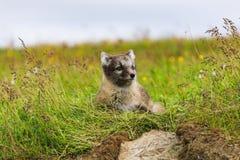 幼小嬉戏的白狐崽在冰岛 库存图片