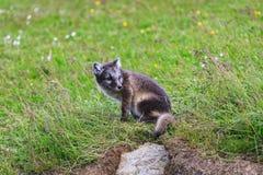 幼小嬉戏的白狐崽在冰岛 免版税库存照片