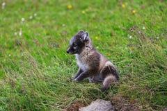 幼小嬉戏的白狐崽在冰岛 库存照片