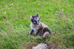 幼小嬉戏的白狐崽在冰岛 图库摄影