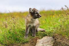 幼小嬉戏的白狐崽在冰岛 免版税库存图片