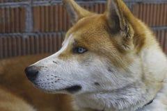 幼小家养的秋田inu狗的特写镜头面孔 免版税图库摄影