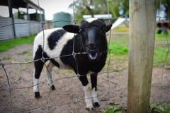 幼小小牛在农场 免版税库存照片