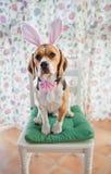 幼小小猎犬佩带的兔宝宝耳朵 免版税图库摄影