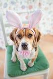 幼小小猎犬佩带的兔宝宝耳朵 图库摄影