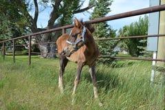 幼小小雌马在牧场地 库存照片