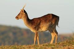 幼小小鹿雄鹿在沼地 免版税库存图片