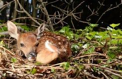 幼小小鹿 库存图片