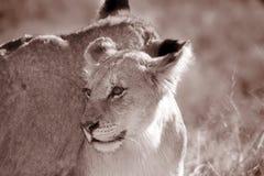 幼小少年公狮子 图库摄影