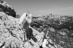 幼小山羊在一个岩石站立在斯洛文尼亚的阿尔卑斯 免版税图库摄影