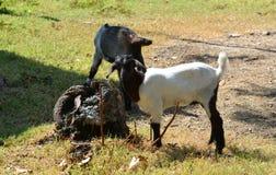 幼小山羊在动物园里 库存照片