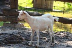 幼小山羊在动物园里 库存图片