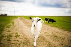 幼小山羊在草甸吃草 免版税库存照片