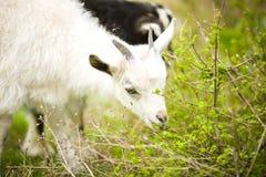 幼小山羊在草甸吃草 库存照片