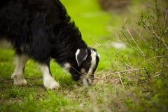 幼小山羊在草甸吃草 库存图片