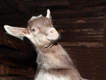 幼小山羊在谷仓。 免版税库存照片