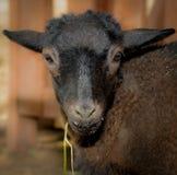 幼小山羊调查与垂悬从嘴的如银的照相机草 免版税库存照片