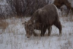 幼小山羊,贾斯珀国家公园 库存照片