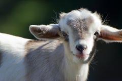 幼小山羊 免版税库存照片