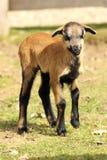 幼小山羊 库存图片