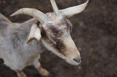 幼小山羊 免版税库存图片